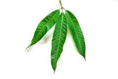 Mangoblätter auf weißem Hintergrund Lizenzfreies Stockbild