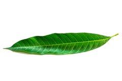 Mangoblätter auf weißem Hintergrund Stockfotos