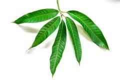 Mangoblätter auf weißem Hintergrund Stockbilder