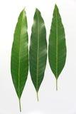 Mangobladeren Royalty-vrije Stock Foto