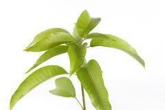 Mangobladeren Royalty-vrije Stock Fotografie