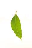 Mangobladeren op witte achtergrond worden geïsoleerd die Royalty-vrije Stock Fotografie