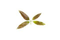 Mangobladvapen som är milt på vit bakgrund arkivbilder