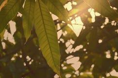 Mangoblatt, das von der Niederlassung im Garten hängt Stockbilder
