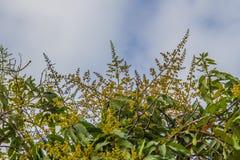 Mangobloemen op de boom met blauwe hemel en witte wolk royalty-vrije stock afbeelding