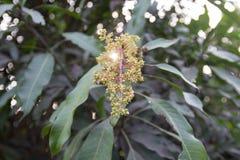 Mangoblumen Stockbild