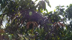 Mangoboom royalty-vrije stock afbeelding