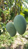 Mangoboom Stock Foto