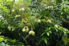 Mangoboom Royalty-vrije Stock Foto