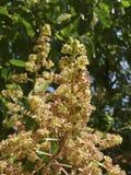 Mangoboom in bloei Royalty-vrije Stock Fotografie