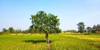 Mangoboom in het midden van padievelden royalty-vrije stock foto's