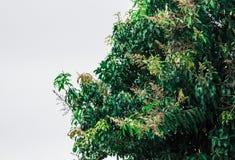 Mangoboom op een witte achtergrond Royalty-vrije Stock Foto