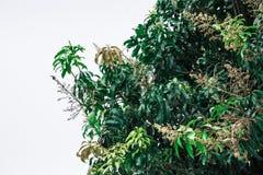 Mangoboom op een witte achtergrond Stock Foto's