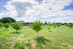 Mangoboomgaarden Azië Thailand Royalty-vrije Stock Afbeelding