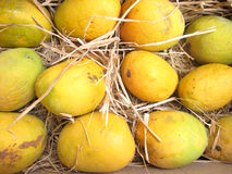 Mangoes. Original alphonso mangoes of india kept in grass to ripe Royalty Free Stock Images