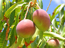 Mangoes Royalty Free Stock Image