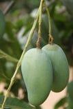 mangoes fotos de stock