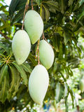 Mangoes. Are delicious fruits of South East Asian people Royalty Free Stock Images