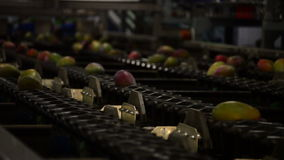 Mangoes fruit in packaging line Royalty Free Stock Images