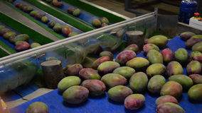 Mangoes fruit in packaging line Royalty Free Stock Photography
