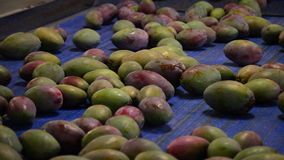 Mangoes fruit in packaging line Stock Photography