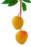 Mangoes. Hanging on fruit bunch with green leaf, isolated white background Royalty Free Stock Photo