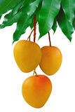 Mangoes. Hanging on fruit bunch with green leaf, isolated white background Stock Photos