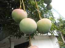 Mangoes on the tree Royalty Free Stock Images