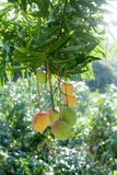 Mangoes hanging from tropical fruit tree Royalty Free Stock Photos