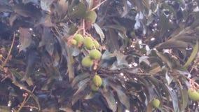 Mangoes. Mango tree with bunch of mangoes Stock Photo