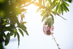 Mangoes on mango tree. Closeup mangoes on mango tree Stock Images