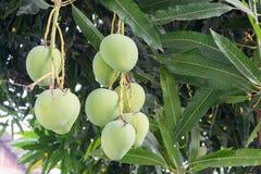 Mangoes on a mango tree. Green and Fresh Stock Photo