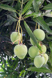 Mangoes on a mango tree. Green and Fresh Stock Image