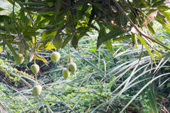 Mangoes on a mango tree. Green and Fresh Royalty Free Stock Images