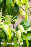 Mangoes on the mango tree. With leaves Stock Image