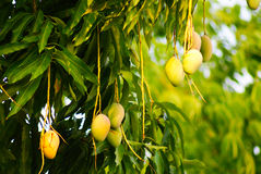 Mangoes. Ripening Mangoes on  tree Royalty Free Stock Photo