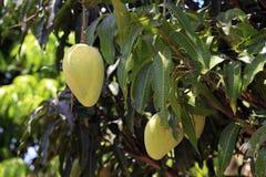 Mangoes Ripening on Tree Stock Photos