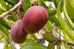 Mangoes on tree. Details of two ripe mangoes on a tree Royalty Free Stock Photo