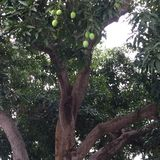 Mangoes on the tree along Marine Parade Rd Singapore Stock Photo