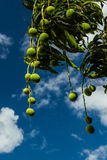 Mangoes on tree. With  blue sky Royalty Free Stock Photo