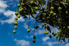 Mangoes on tree. With blue sky Stock Images
