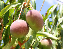 Mangoes on a tree Stock Images