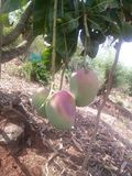 Mangoes on tree. First time mangoes grown by tree Royalty Free Stock Photography