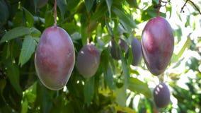 Mangoes in tree.