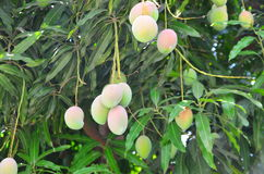 Mangoes. On the tree in the garden Stock Photos