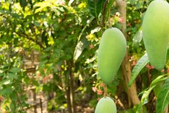 Mangoes on the tree grow up. In farmer garden Royalty Free Stock Photography