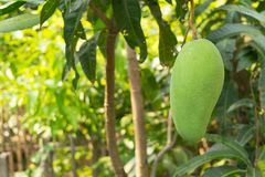Mangoes on the tree grow up. In farmer garden Royalty Free Stock Image