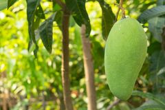 Mangoes on the tree grow up. In farmer garden Stock Images