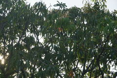 Mangoes Tree. Photo at in the middle of the day Royalty Free Stock Images