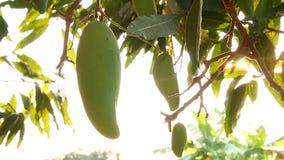 Mangoes  tree with sunlight, chiangmai Thailand. Mangoes tree with sunlight, chiangmai Thailand stock video